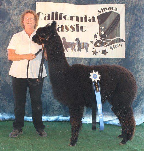 Onyx Store California : Onyx epic alpacas
