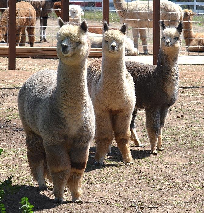 Three boys from herdsire Silver Fox - Socrates, Bacchus and Magi